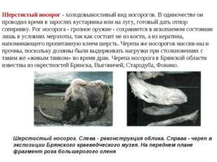 Шерстистый носорог - холодовыносливый вид носорогов. В одиночестве он проводи
