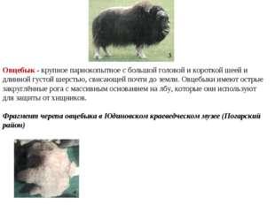 Овцебык - крупное парнокопытное с большой головой и короткой шеей и длинной
