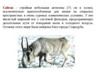 Сайгак - стройная небольшая антилопа (75 см в холке), исключительно приспособ
