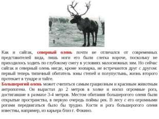 Как и сайгак, северный олень почти не отличался от современных представителей