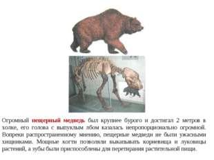 Огромный пещерный медведь был крупнее бурого и достигал 2 метров в холке, его