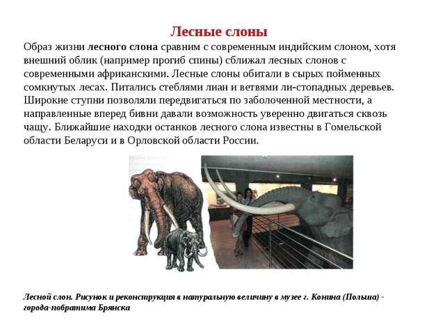 Лесные слоны Образ жизни лесного слона сравним с современным индийским слоном...