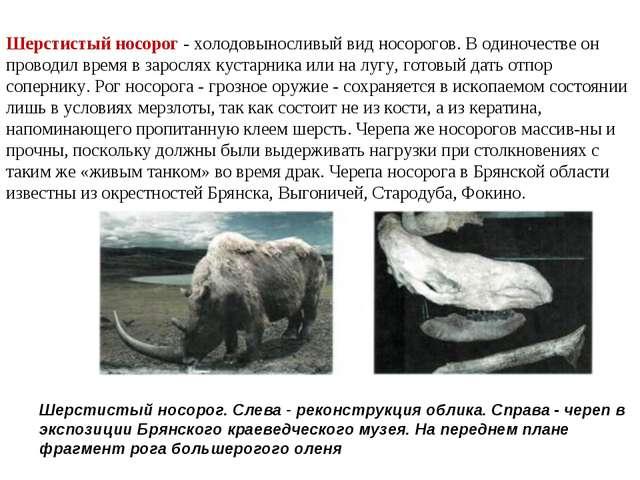 Шерстистый носорог - холодовыносливый вид носорогов. В одиночестве он проводи...