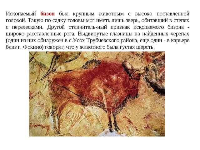 Ископаемый бизон был крупным животным с высоко поставленной головой. Такую по...