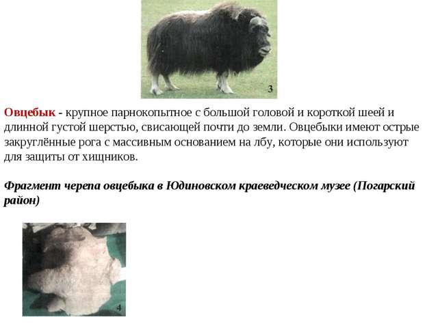Овцебык - крупное парнокопытное с большой головой и короткой шеей и длинной...