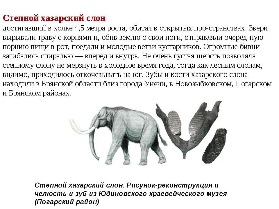 Степной хазарский слон достигавший в холке 4,5 метра роста, обитал в открытых...