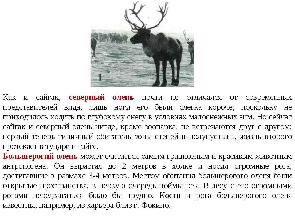 Как и сайгак, северный олень почти не отличался от современных представителей...