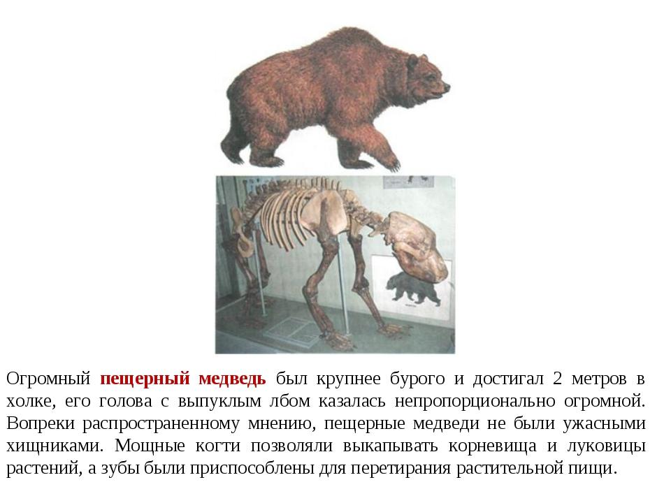 Огромный пещерный медведь был крупнее бурого и достигал 2 метров в холке, его...