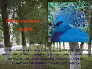 Самый большой голубь в мире. Его размер достигает почти 80 см. Эта птица назы