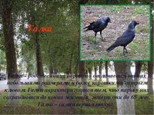 Галка - родственница ворон, но отличается от них небольшими размерами и более