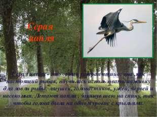 Серая цапля - это самая хитрая птица: она ,как настоящий рыбак, научилась исп