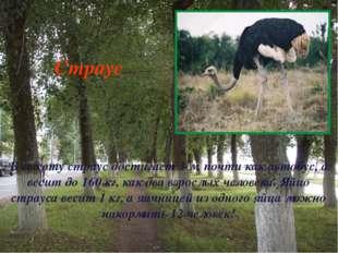 В высоту страус достигает 3 м, почти как автобус, а весит до 160 кг, как два