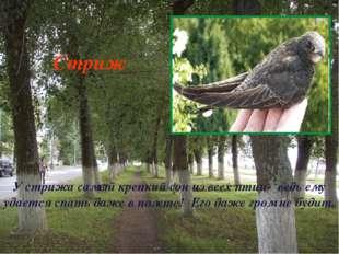 У стрижа самый крепкий сон из всех птиц- ведь ему удается спать даже в полете
