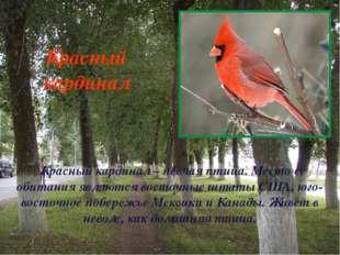 Красный кардинал – певчая птица. Место ее обитания являются восточные штаты С