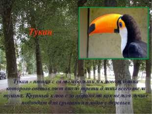 Тукан - птица с самым большим клювом, длина которого составляет около трети д