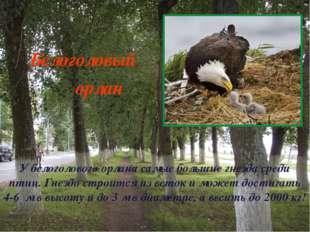 У белоголового орлана самые большие гнезда среди птиц. Гнездо строится из вет