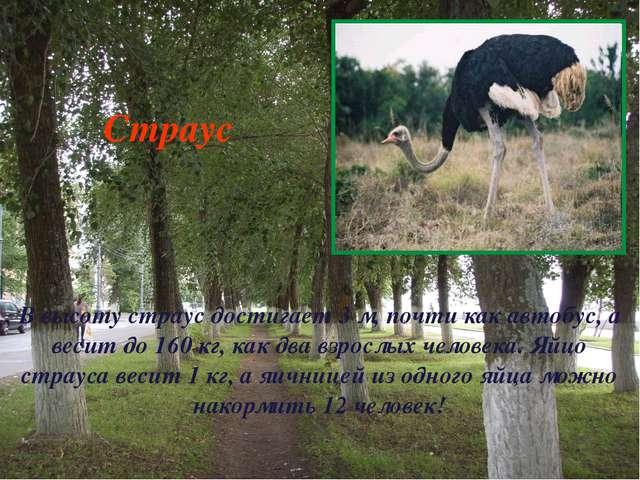 В высоту страус достигает 3 м, почти как автобус, а весит до 160 кг, как два...