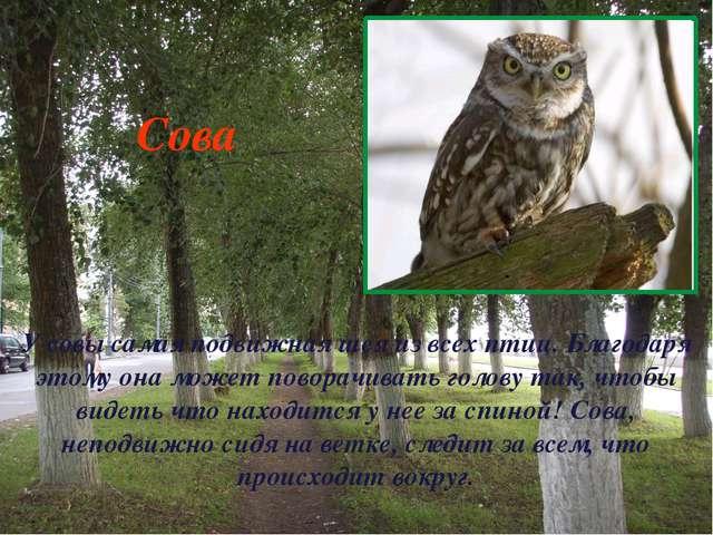 У совы самая подвижная шея из всех птиц. Благодаря этому она может поворачива...