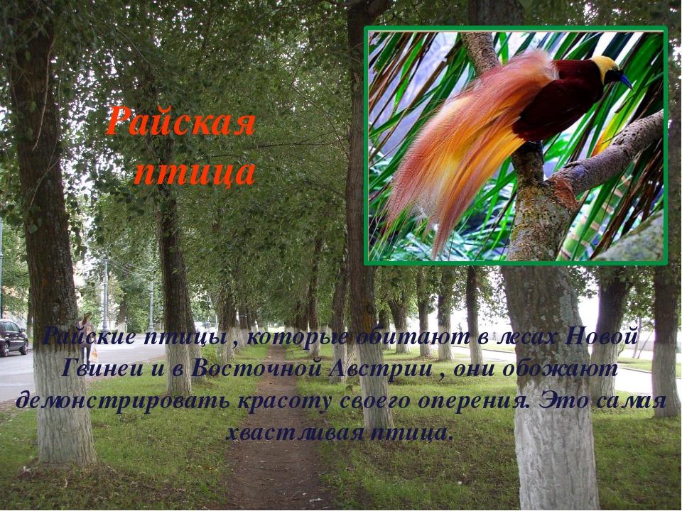 Райские птицы , которые обитают в лесах Новой Гвинеи и в Восточной Австрии ,...