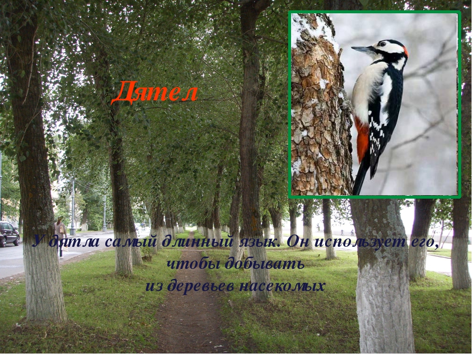 У дятла самый длинный язык. Он использует его, чтобы добывать из деревьев нас...