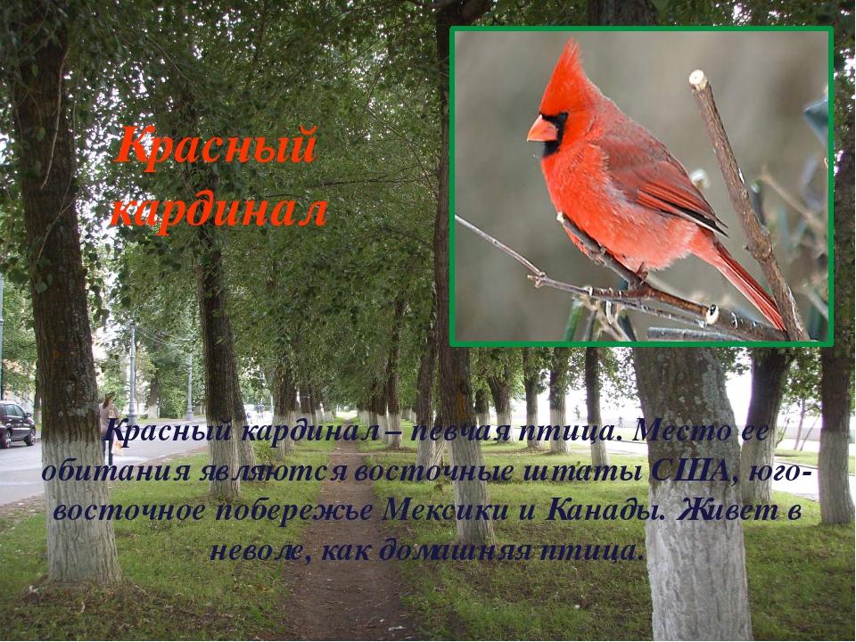 Красный кардинал – певчая птица. Место ее обитания являются восточные штаты С...