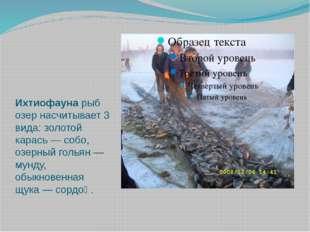 Ихтиофауна рыб озер насчитывает 3 вида: золотой карась — собо, озерный голья