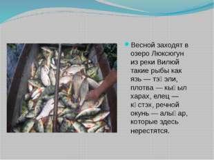 Весной заходят в озеро Люксюгун из реки Вилюй такие рыбы как язь — тэңэли, пл