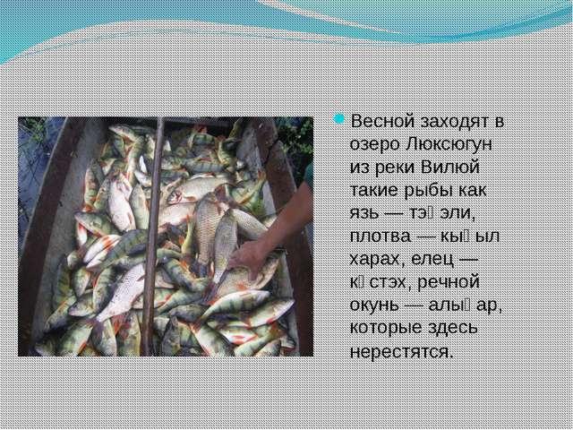 Весной заходят в озеро Люксюгун из реки Вилюй такие рыбы как язь — тэңэли, пл...