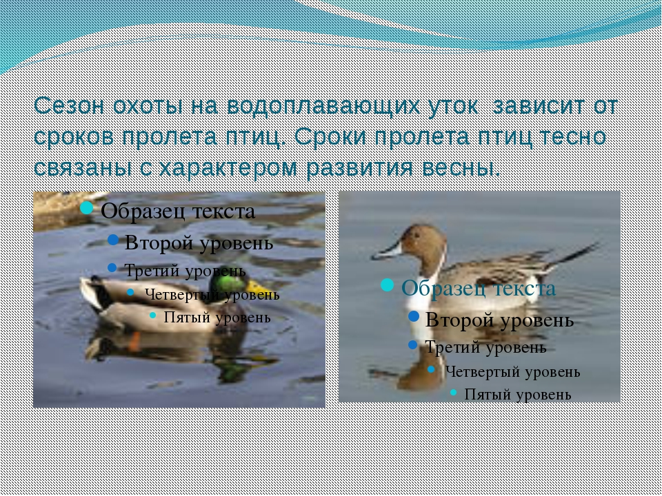 Сезон охоты на водоплавающих уток зависит от сроков пролета птиц. Сроки проле...