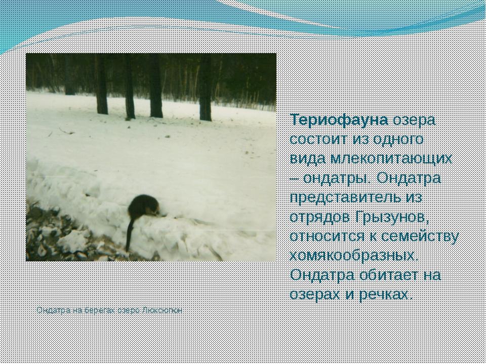 Ондатра на берегах озеро Люксюгюн Териофауна озера состоит из одного вида мле...