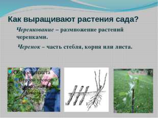 Как выращивают растения сада? Черенкование – размножение растений черенками.