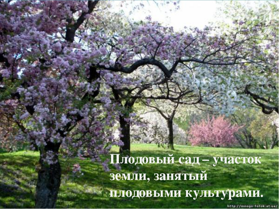 Плодовый сад – участок земли, занятый плодовыми культурами.