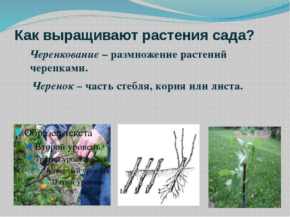 Как выращивают растения сада? Черенкование – размножение растений черенками....