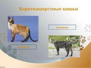 Короткошерстные кошки Сиамская Домашняя