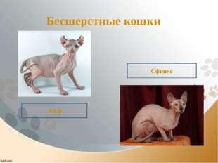 Бесшерстные кошки Эльф Сфинкс