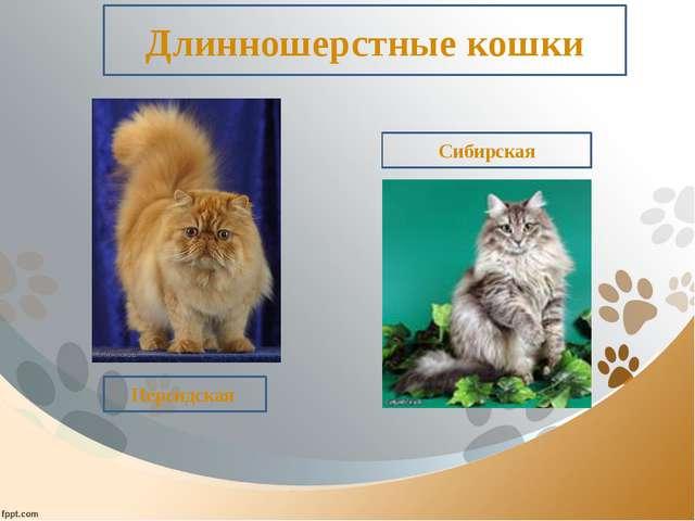 Длинношерстные кошки Персидская Сибирская