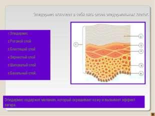 Эпидермис включает в себя пять слоев эпидермальных клеток. Эпидермис Роговой