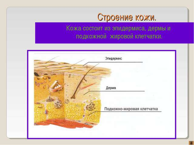 Строение кожи. Кожа состоит из эпидермиса, дермы и подкожной жировой клетчатки.