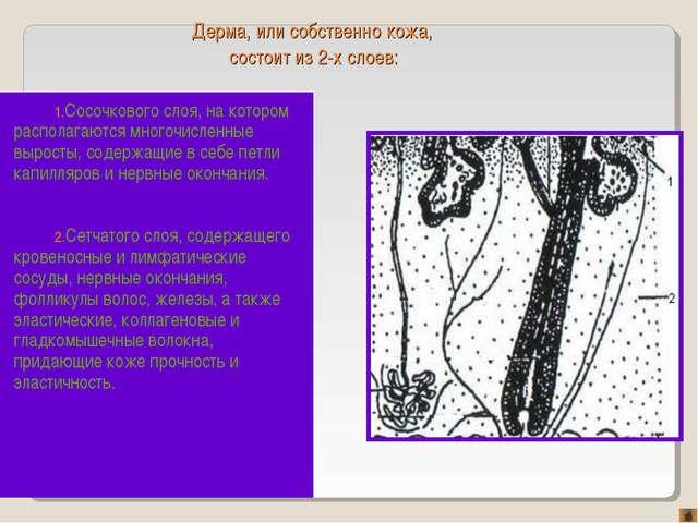 Дерма, или собственно кожа, состоит из 2-х слоев: Сосочкового слоя, на которо...