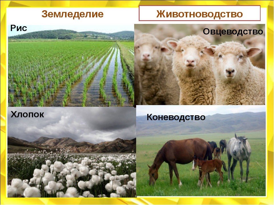 Земледелие 70% орошаемых земель РК Технические культуры: Хлопчатник - долины...