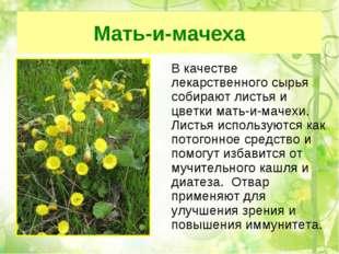 Мать-и-мачеха В качестве лекарственного сырья собирают листья и цветки мать-