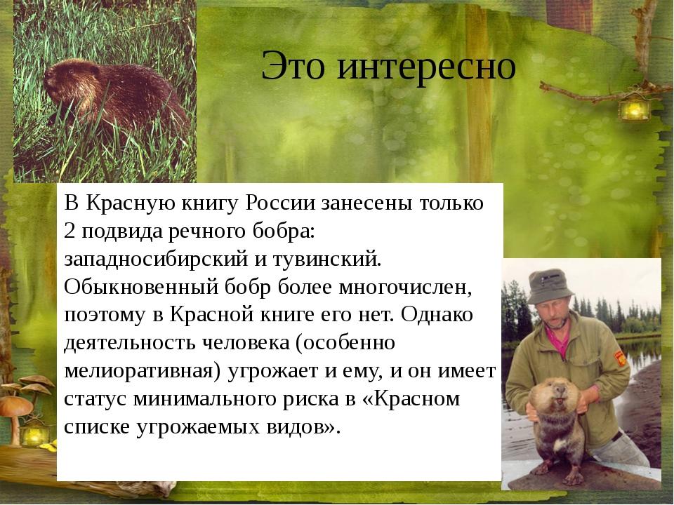 Это интересно В Красную книгу России занесены только 2 подвида речного бобра...