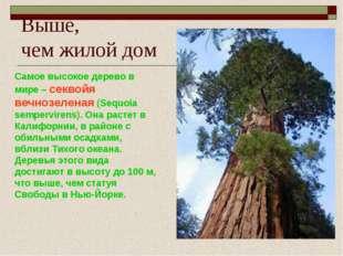Выше, чем жилой дом Самое высокое дерево в мире – секвойя вечнозеленая (Sequo