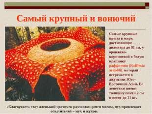 Самый крупный и вонючий Самые крупные цветы в мире, достигающие диаметра до 9