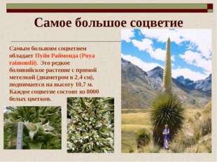 Самое большое соцветие Самым большим соцветием обладает Пуйя Раймонда (Puya r