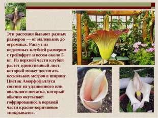 Эти растения бывают разных размеров — от маленьких до огромных. Растут из под