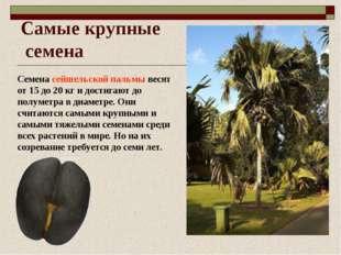 Самые крупные семена Семена сейшельской пальмы весят от 15 до 20 кг и достига