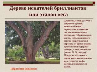 Дерево искателей бриллиантов или эталон веса Цератония рожковая Дерево высото