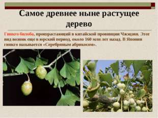 Самое древнее ныне растущее дерево Гинкго билоба, произрастающий в китайской