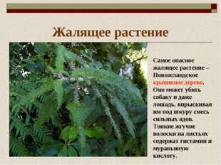 Жалящее растение Самое опасное жалящее растение – Новозеландское крапивное де